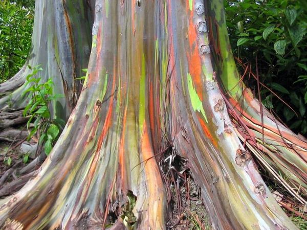 eucalipto-arco-iris-blog-usenatureza