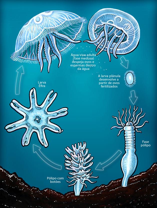 Animal-Pics-colour-jellyfish-lifecycle-portugues