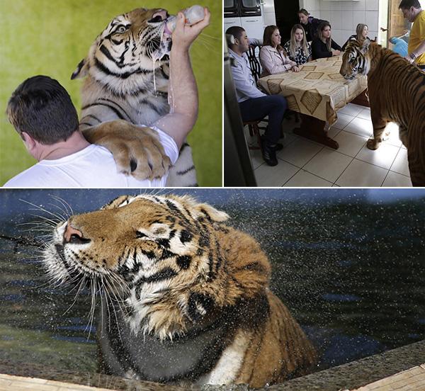 tigre-familia