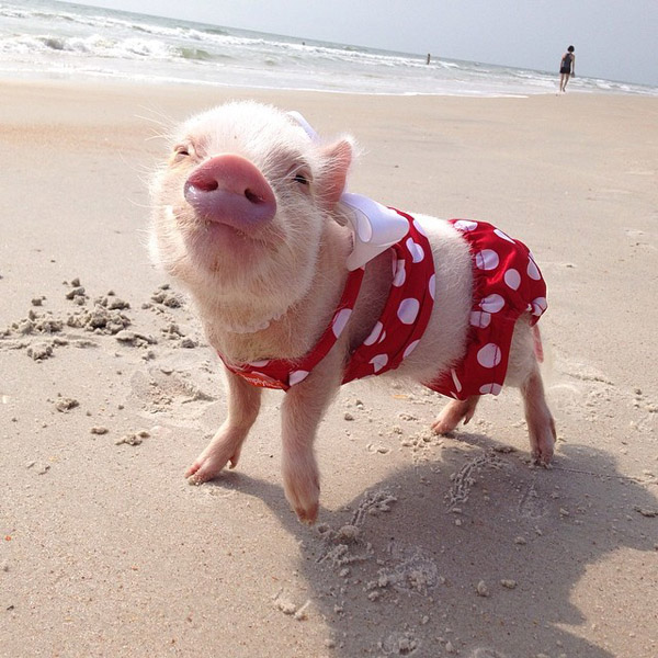 conheca-priscilla-a-mais-bela-porquinha-blog-usenatureza