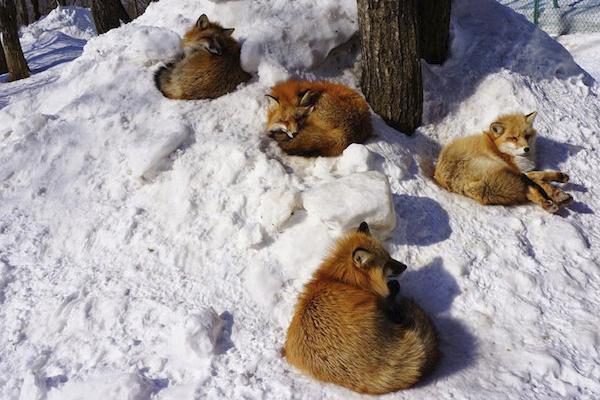 uma-ilha-de-raposas-japao-blog-usenatureza