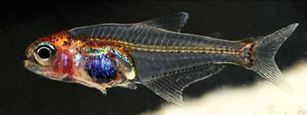 animais-transparentes-como-voce-nunca-viu-peixe-blog-usenatureza