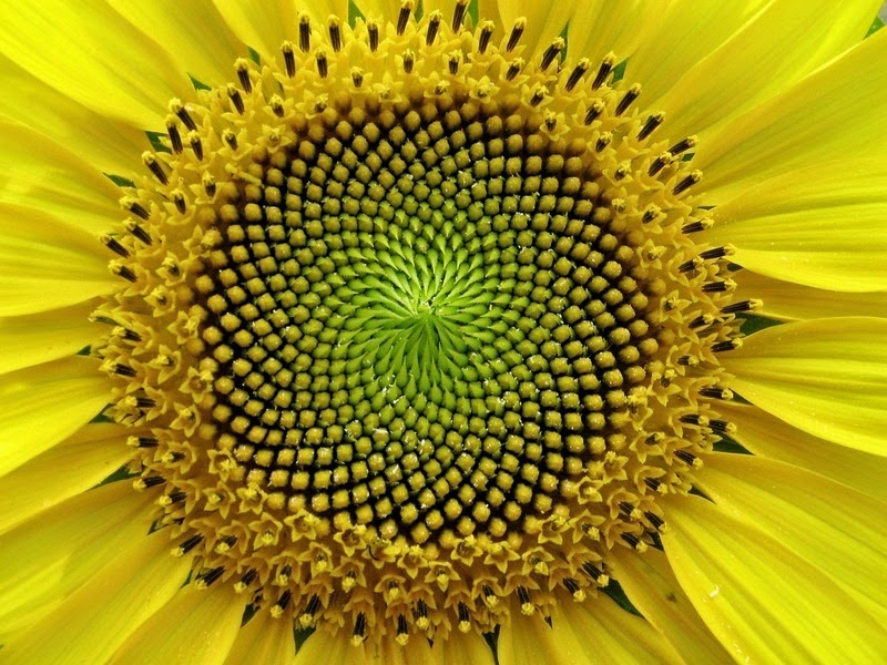 a-matematica-da-natureza-flordosol-blog-usenatureza