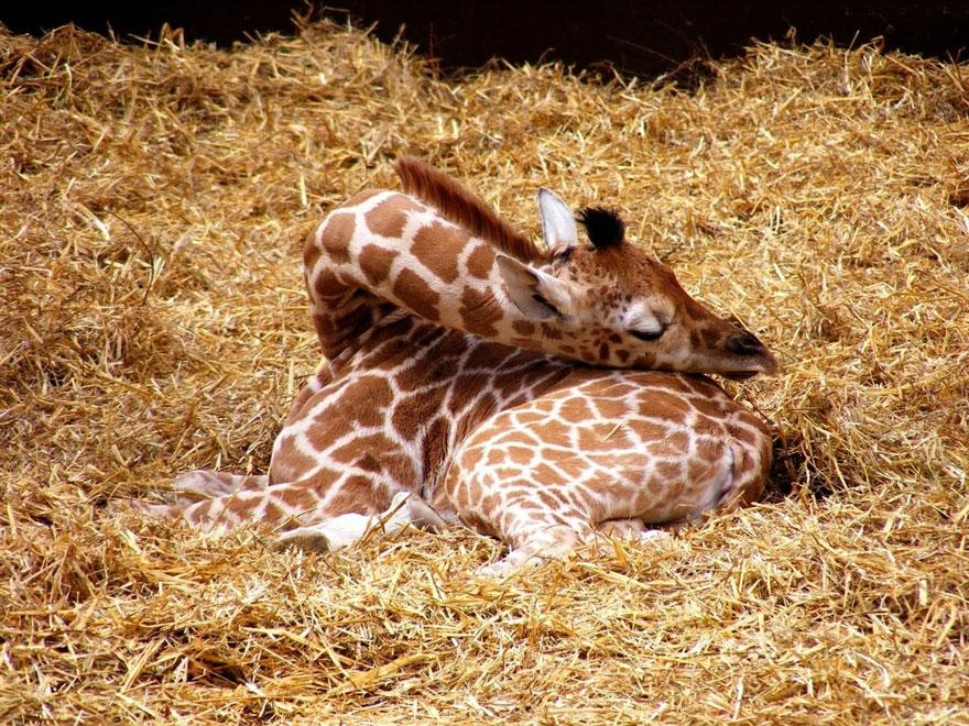 como-as-girafas-dormem-blog-usenatureza
