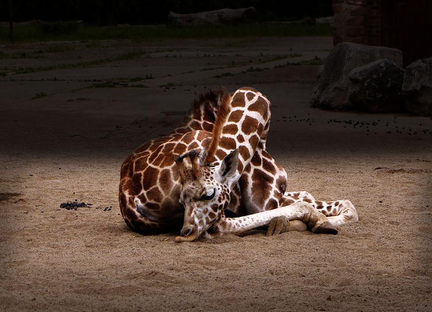 como-as-girafas-dormem-curiosidade-blog-usenatureza