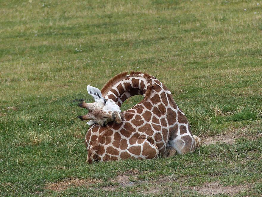 como-girafas-dormem-blog-usenatureza