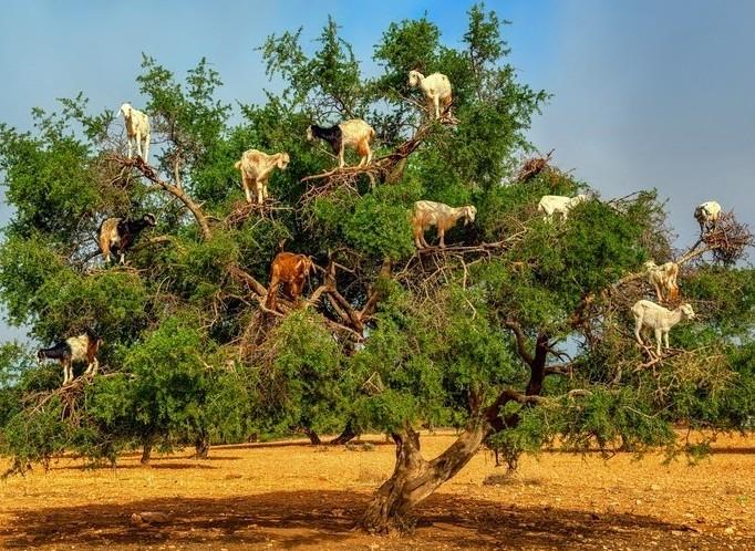 cabras-escalam-arvores-de-argan-blog-usenatureza
