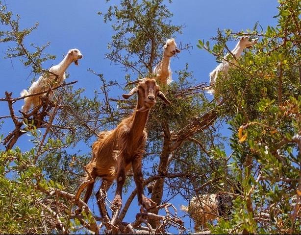 cabras-no-topo-de-arvores-de-argan-blog-usenatureza
