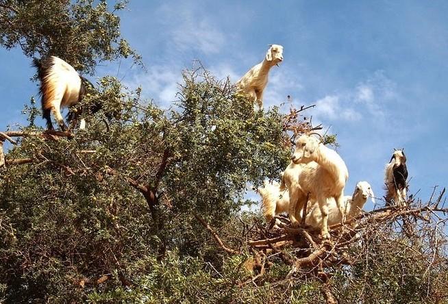 cabras-sobrem-em-arvores-blog-usenatureza