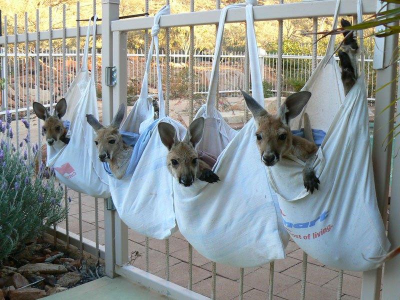 o-santuario-cangurus-orfaos-na-australia-blog-usenatureza