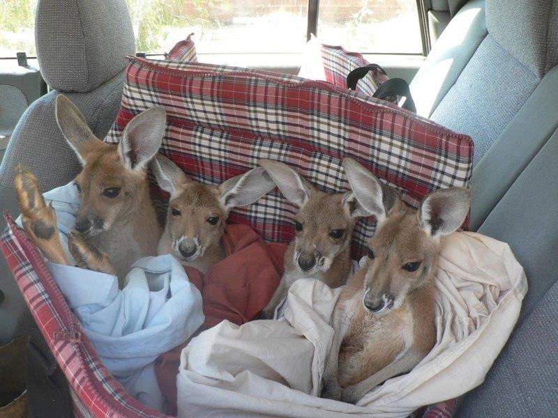 o-santuario-dos-cangurus-orfaos-australia-blog-usenatureza