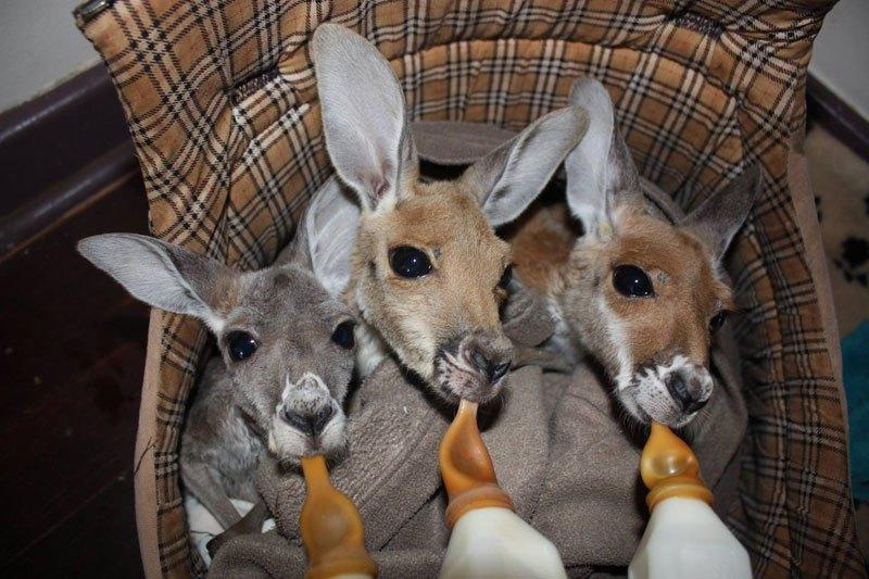 o-santuario-dos-cangurus-orfaos-na-australia-mamadeira-blog-usenatureza