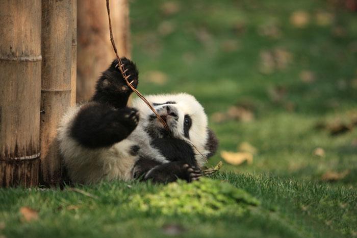 creche-dos-pandas-e-o-lugar-mais-adoravel-do-mundo-blog-usenatureza