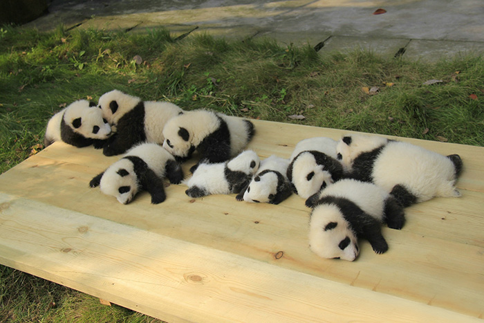 creche-dos-pandas-lugar-mais-adoravel-do-mundo-blog-usenatureza