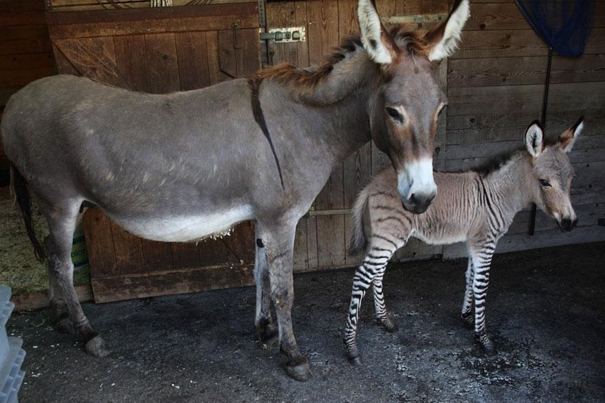 o-adoravel-filhote-de-uma-zebra-asno-blog-usenatureza