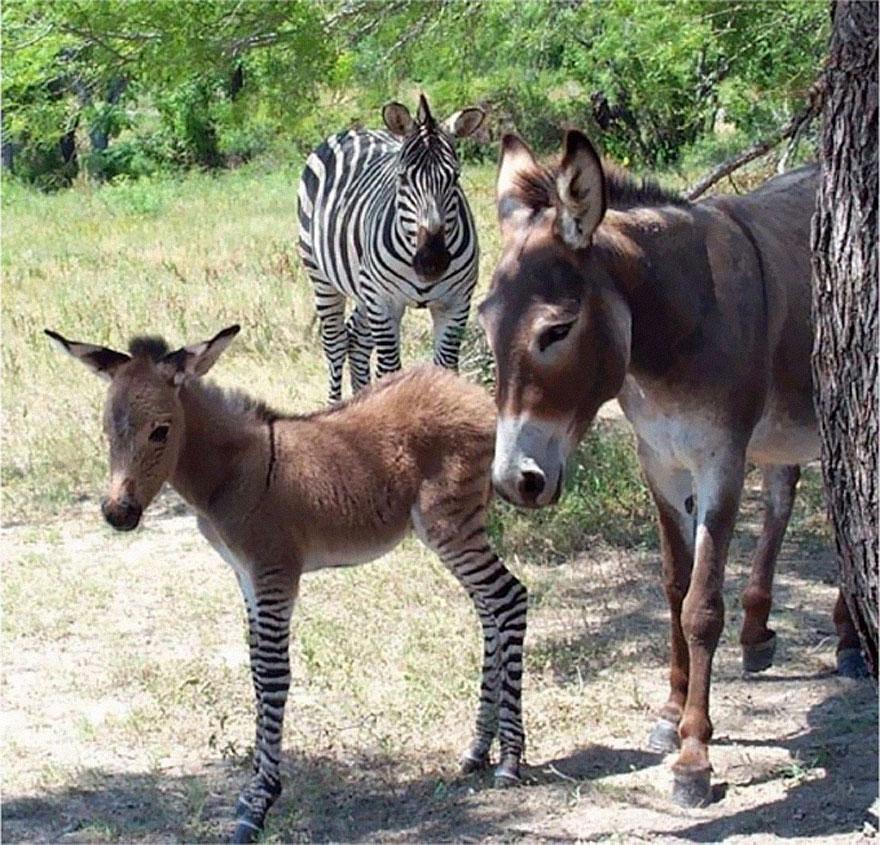 o-adoravel-filhote-de-uma-zebra-com-asno-blog-usenatureza