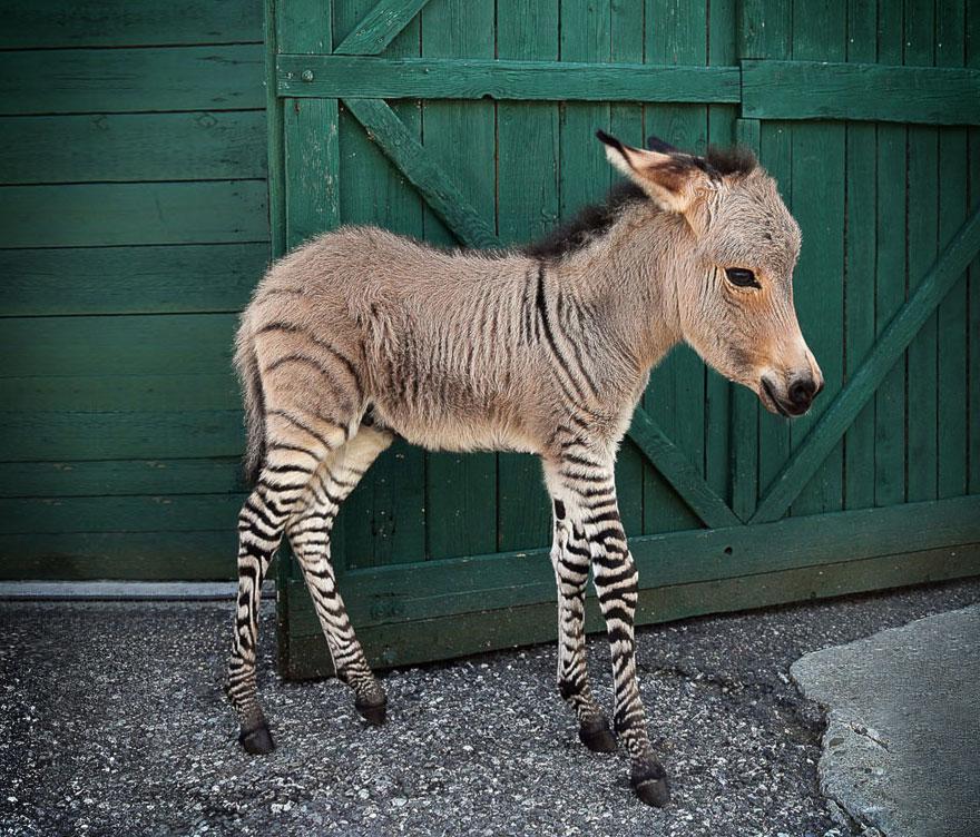 o-adoravel-filhote-de-uma-zebra-com-um-asno-blog-usenatureza