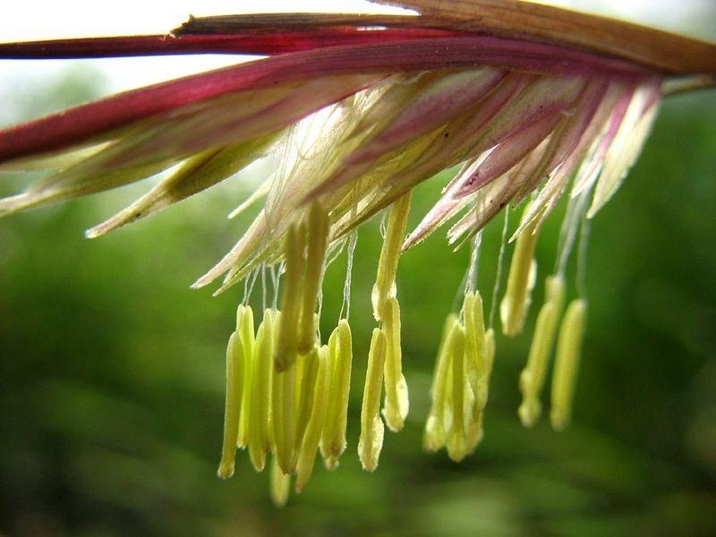 bambu-floresce-1-vez-com-intervalos-de-60-a-130-anos-fargesia-blog-usenatureza