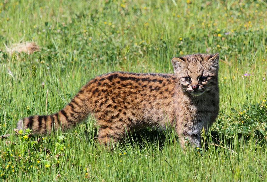 gato-Kodkod