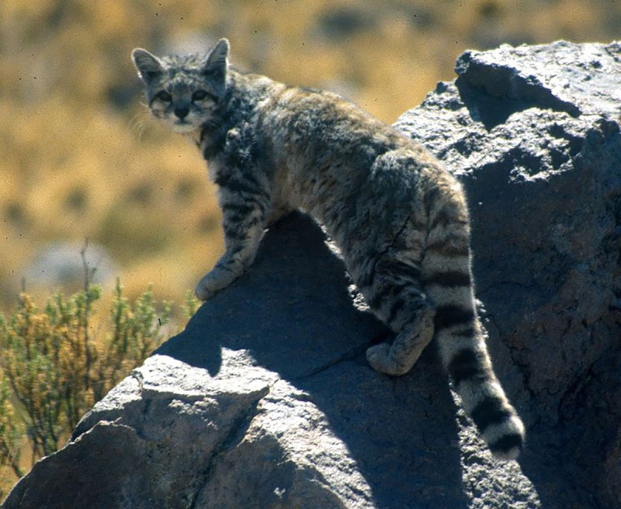 gato-andean-cat