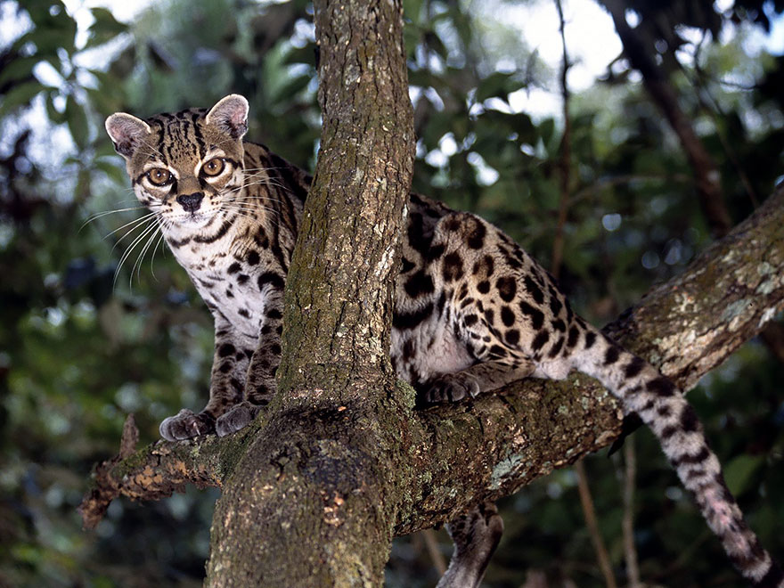 gato-margay-cat
