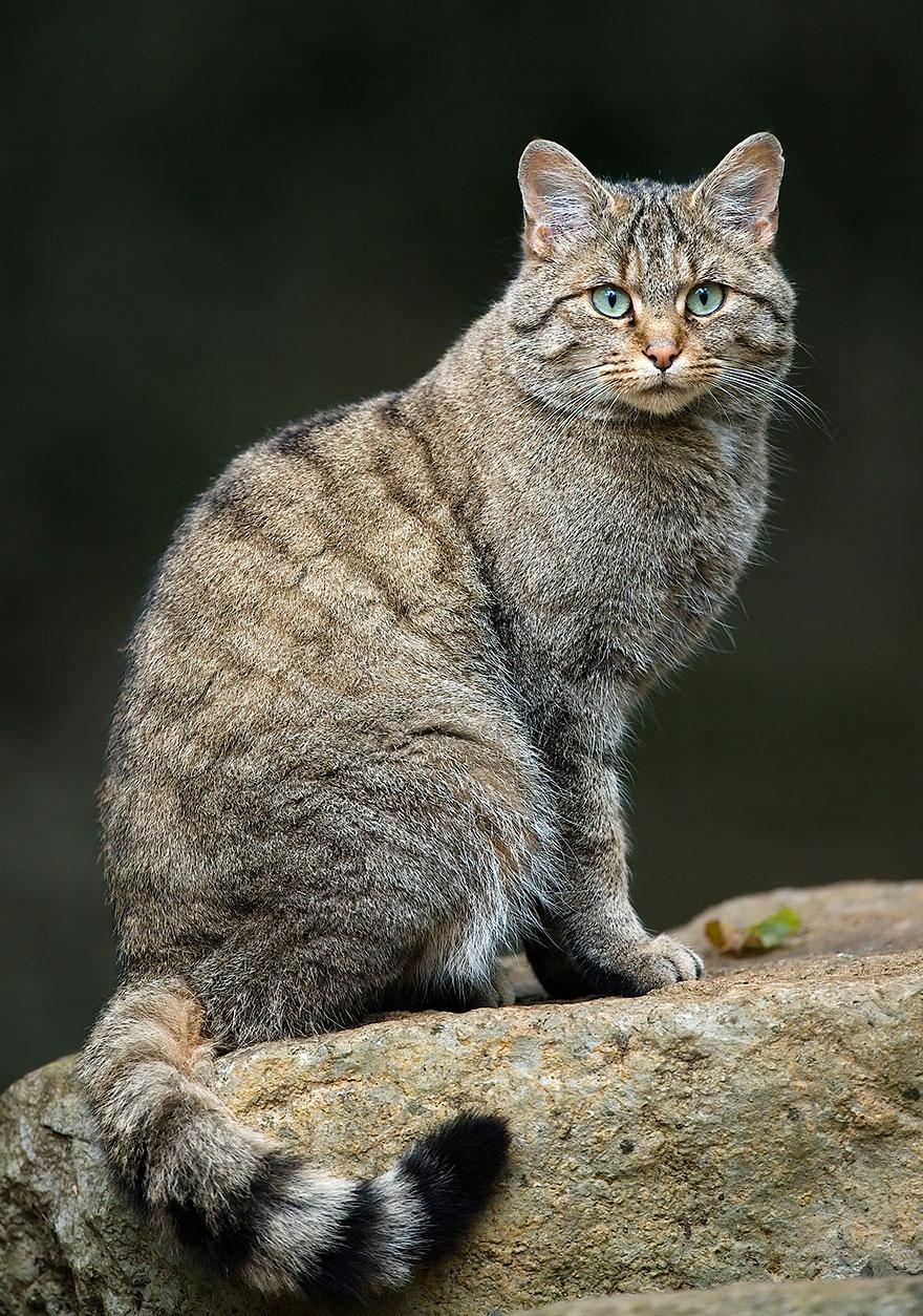 gato-selvagem-wildcat
