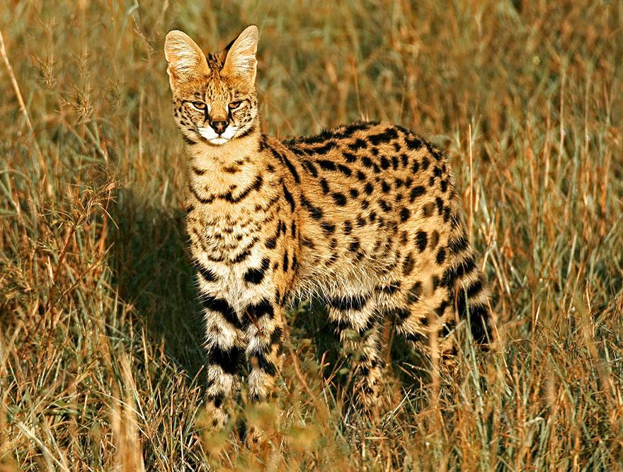 gato-serval