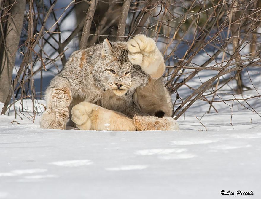 voce-ja-conhecia-estes-gatos-blog-usenatureza
