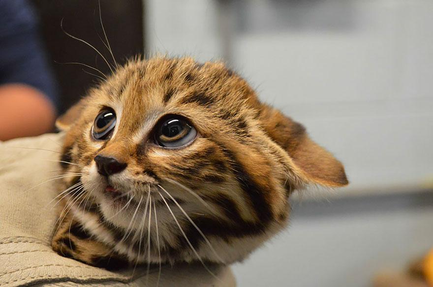 voce-ja-conhecia-estes-gatos-selvagens-black-blog-usenatureza