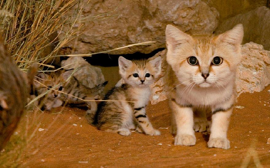voce-ja-conhecia-estes-gatos-selvagens-blog-usenatureza