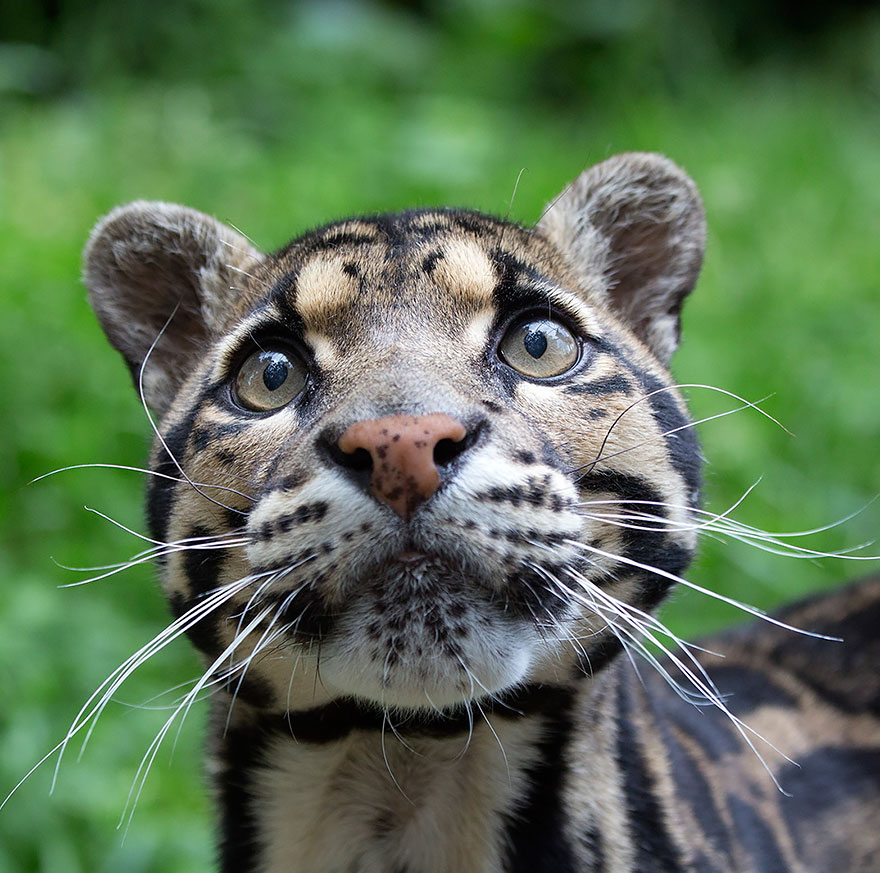 voce-ja-conhecia-estes-gatos-selvagens-clouded-leopard-blog-usenatureza