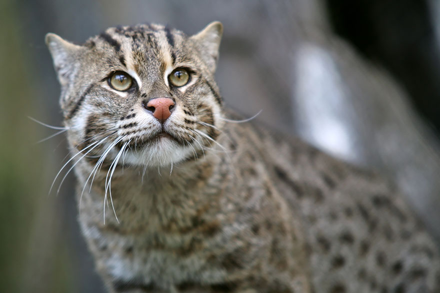 voce-ja-conhecia-estes-gatos-selvagens-fishing-blog-usenatureza