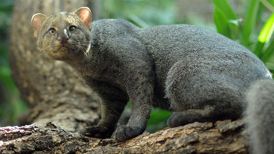 voce-ja-conhecia-estes-gatos-selvagens-jaguarundi-blog-usenatureza