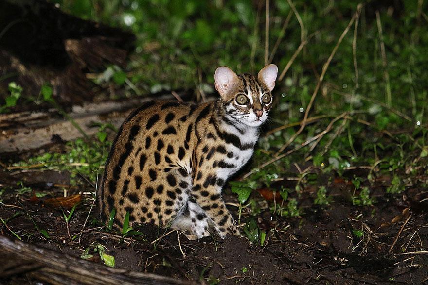 voce-ja-conhecia-estes-gatos-selvagens-leopard-blog-usenatureza