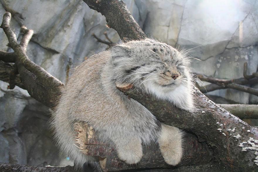 voce-ja-conhecia-estes-gatos-selvagens-pallas-blog-usenatureza