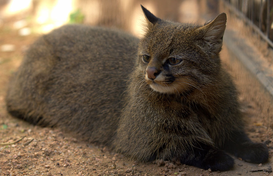 voce-ja-conhecia-estes-gatos-selvagens-pampas-blog-usenatureza