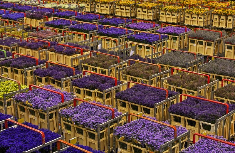 aalsmeer-flores-leilao