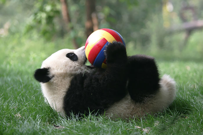 creche-para-pandas-o-lugar-mais-adoravel-da-terra-blog-usenatureza