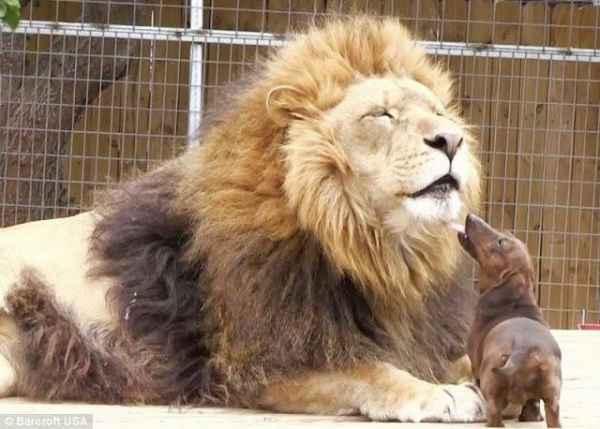 uma-amizade-incomum-leão-salsichinha-blog-usenatureza