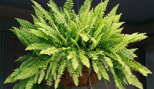 10-plantas-que-ajudam-a-melhorar-o-ar-em-casa-samambaia-blog-usenatureza