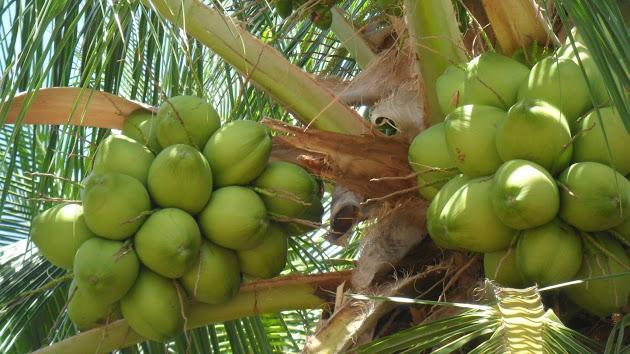 coco-verde-para-a-saude-blog-usenatureza