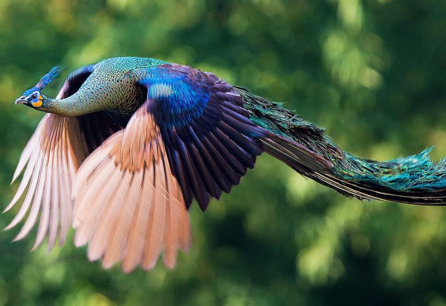o-voo-do-pavao-curiosidades-blog-usenatureza
