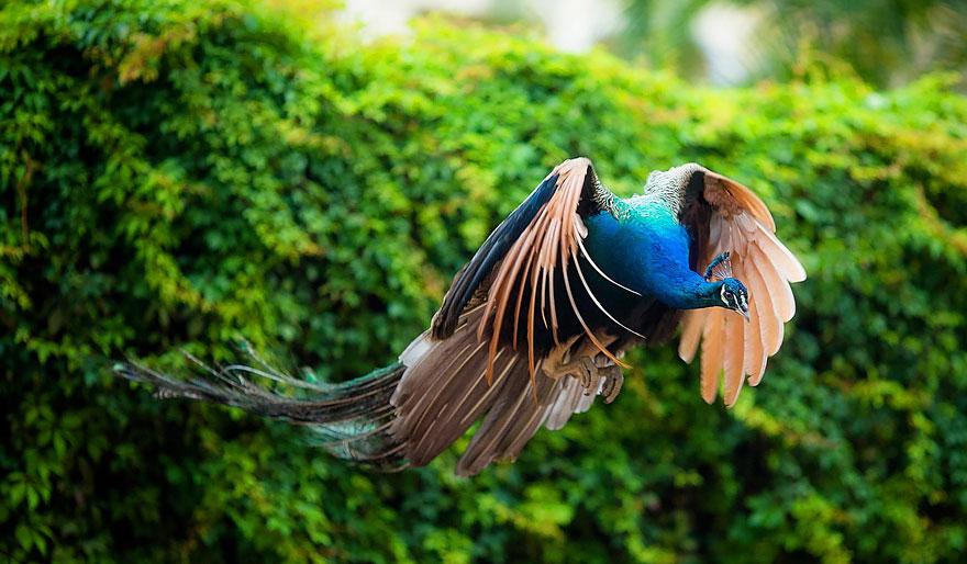 o-voo-do-pavao-informações-blog-usenatureza