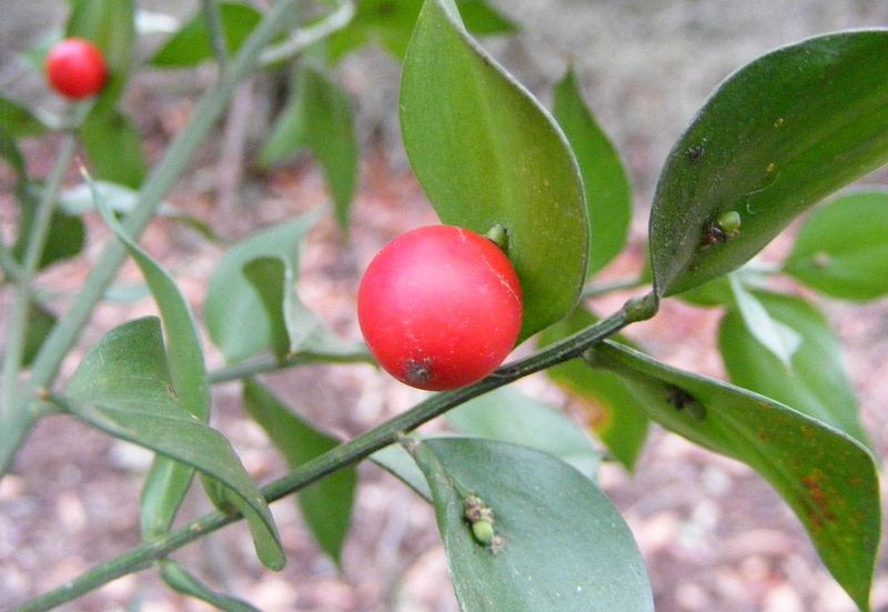 frutas-que-crescem-nas-folhas-blog-usenatureza