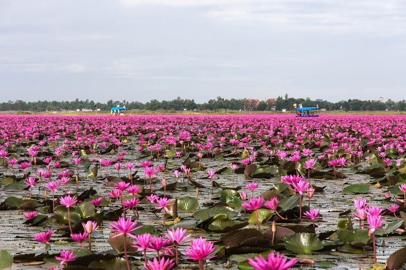 o-incrivel-lago-das-lotus-vermelhas-tailandia-blog-usenatureza