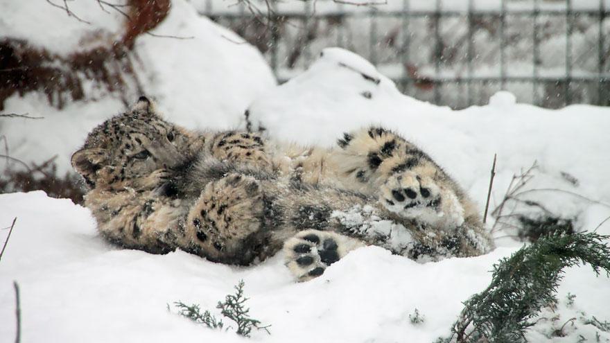 leopardos-da-neve-e-suas-longas-caudas-felinos-blog-usenatureza