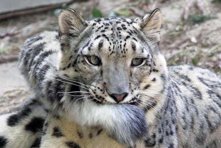 leopardos-da-neve-e-suas-longas-caudas-fofas-blog-usenatureza
