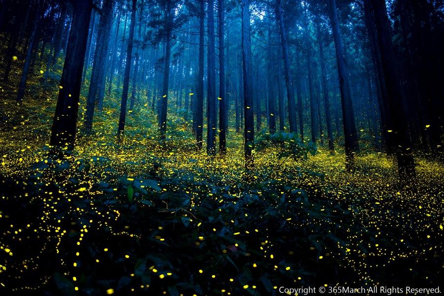 os-impressionantes-vagalumes-verão-japão-blog-usenatureza