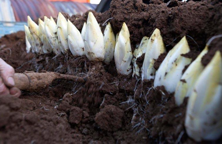 como-cultivar-endivias-em-casa-chicorias-blog-usenatureza