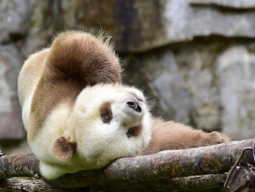 o-unico-panda-marrom-no-mundo-blog-usenatureza